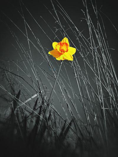Jonquille sauvage Flower Bw/colors Enjoying Life Eye4photography