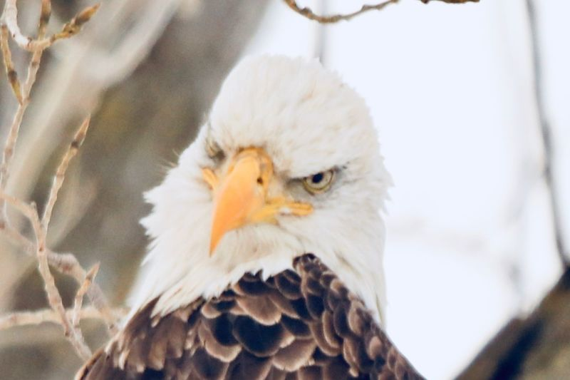 A stern visage Bird Animal Themes Animal Vertebrate One Animal Animals In The Wild Animal Wildlife Bird Of Prey Focus On Foreground Close-up Animal Body Part Eagle No People Day Beak Animal Head  White Color Bald Eagle Nature Outdoors