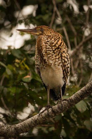 Animal Themes Animal Wildlife Animals In The Wild Bird Close-up Day Focus On Foreground Nature No People One Animal Outdoors Perching Rufescent Tiger Heron
