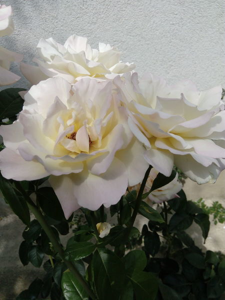 Roses Flower Nature Freshness Beauty In Nature Close-up Freshness Summer! ♥ Garden Flowers No Filter, No Edit, Just Photography Summer Flowers Flower Head Flowers,Plants & Garden Rose🌹 Petal Rose Petals White Color