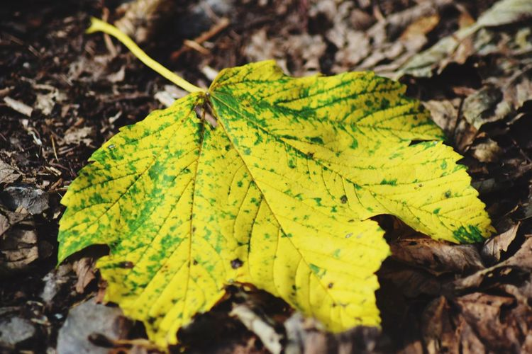 Fall Leaf Plant Part Plant Nature Close-up Green Color Day Beauty In Nature Outdoors Selective Focus Yellow Leaf Vein Autumn Tree Vulnerability  Leaves