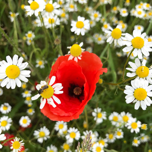 Flowering Plant Flower Freshness Fragility Vulnerability  Plant Beauty In Nature Petal Flower Head Growth Inflorescence Close-up Nature Red Pollen Daisy Day No People Invertebrate Focus On Foreground Outdoors Pollination