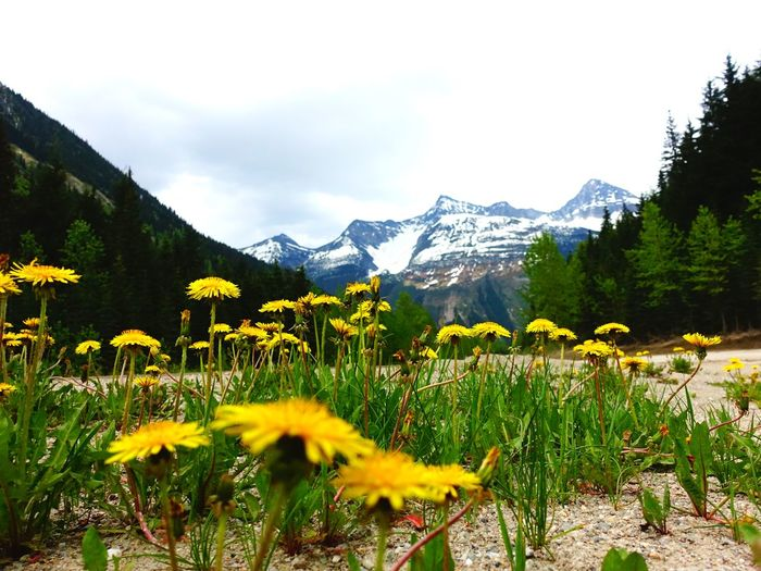 Dandelions Glacier National Park Kamloops Canada Road Tripping Exploring Abventure Travel Landscape Flower Mountain Nature
