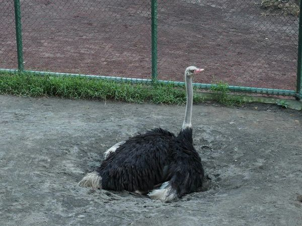 Animals Relaxing Animal_collection Zoo Taking Photos Zoo Animals  Bird Animal Animal Photography Ostrich 体が穴に埋まってる?いや埋めてる。何等身かなあ!観月ありさ以上だな(笑)。
