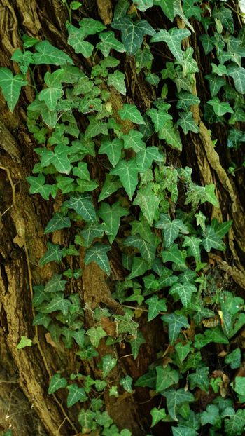 Green Leaves Green Vine Vines On Trees Vine - Plant Vine September 2018 Leaf Plant Part Full Frame Green Color Backgrounds Growth No People Botany Ivy Beauty In Nature Abundance High Angle View Tree Wood - Material Outdoors Close-up Nature Plant Day