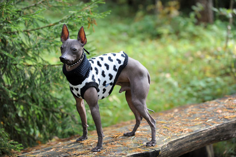 Lithuania Mexican Hairless Dog Animal Animal Themes Canine Day Dog Domestic Domestic Animals Focus On Foreground Full Length Herbivorous Land Mammal Nature No People One Animal Pets Plant Purebred Dog Spotted Standing Tree Vertebrate