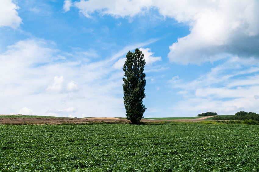 Nature Sky Landscape Tree Day Field Grass Plant Land Growth Beauty In Nature No People Green Color Cloud - Sky Tranquil Scene Tranquility Environment Scenics - Nature Rural Scene Non-urban Scene Outdoors Plantation