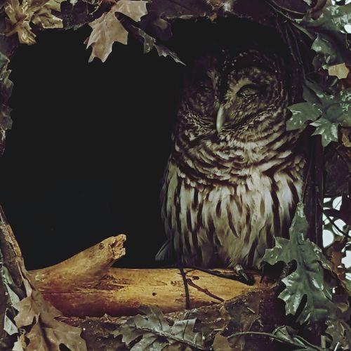 Barred owl Owl Owls💕 Barred Owl Birds Of Prey Birds Naturelovers Nature Conservation Animals Animal Lover EyeEm Animal Lover