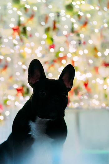 Frenchie Ears