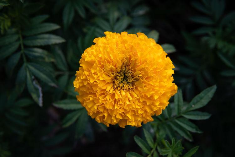 Flower Plant Growth Freshness Yellow Marigold Leaf Nature