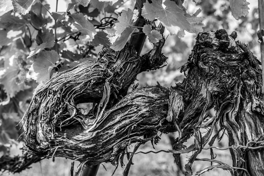 Travel Photography Black & White Nature Collection Vineyard