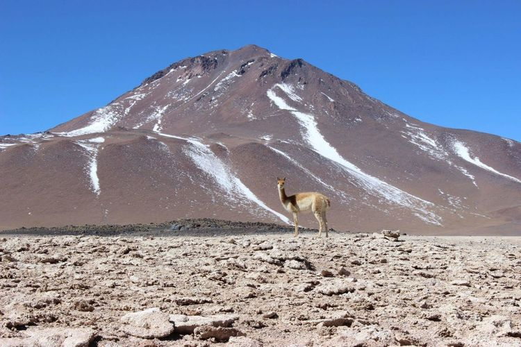 Llama standing on field against mountain