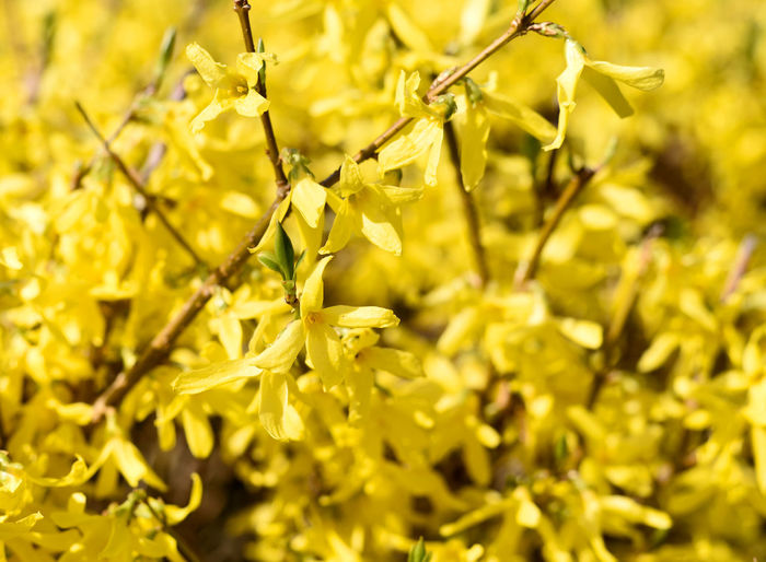 Yellow forysthia flowers, close-up shot with sunlight. Forsythie Beauty In Nature Close-up Day Flower Flower Head Flowering Plant Focus On Foreground Forsythia Forsythia Blooms Forsythia Flowers Fragility Freshness Full Frame Growth Nature No People Outdoors Petal Plant Selective Focus Spring Vulnerability  Yellow Yellow Flowers