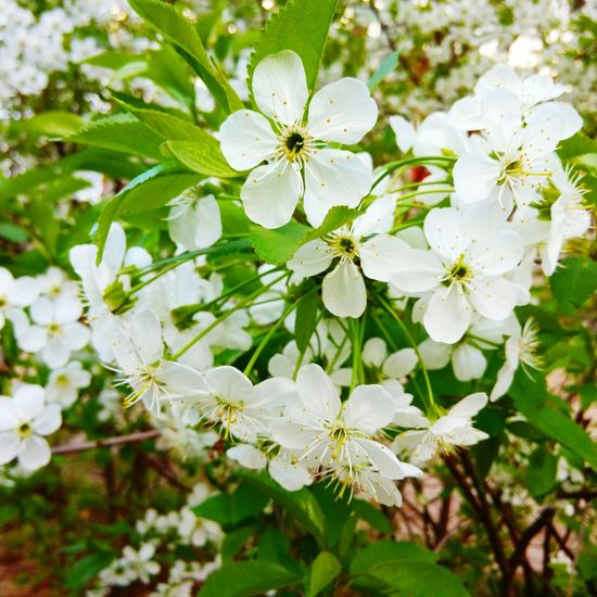 Cherry Tree May весна Spring Into Spring Spring Flowers Color Kiev