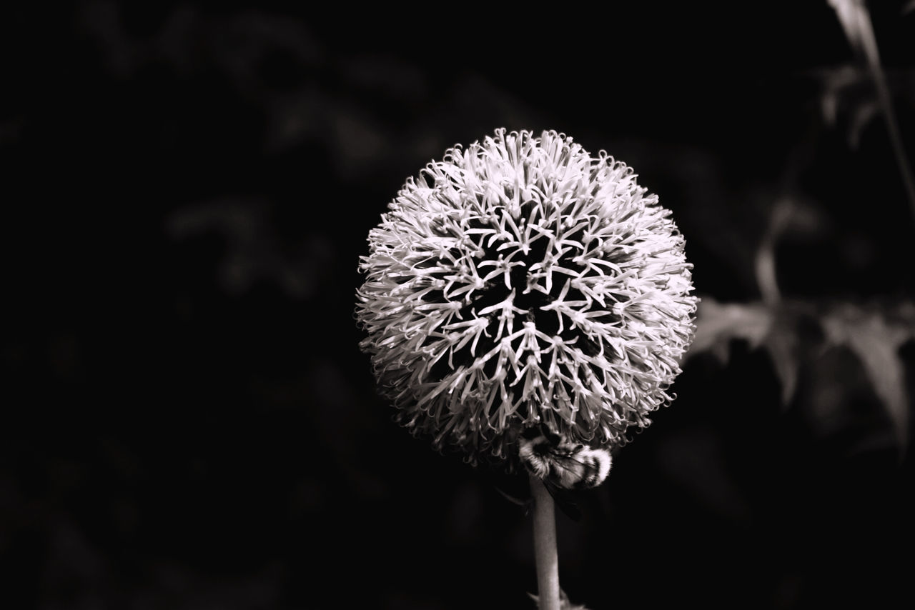 flower, flowering plant, fragility, plant, vulnerability, freshness, beauty in nature, close-up, growth, flower head, inflorescence, petal, nature, no people, focus on foreground, plant stem, day, outdoors, selective focus, pollen, softness, dandelion seed