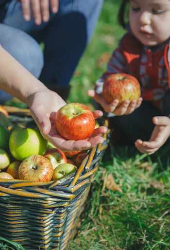 Closeup of woman and little girl holding fresh organic apples in their hands from the wicker basket with fruit harvest. Healthy food and family leisure time concept. Agriculture Apple Autumn Family Farm Farmer Hands Tree Wicker Woman Basket Close Up Fall Food Fresh Fruit Harvest Harvesting Leisure Activity Orchard Organic Outdoors Picking Real People Vertical