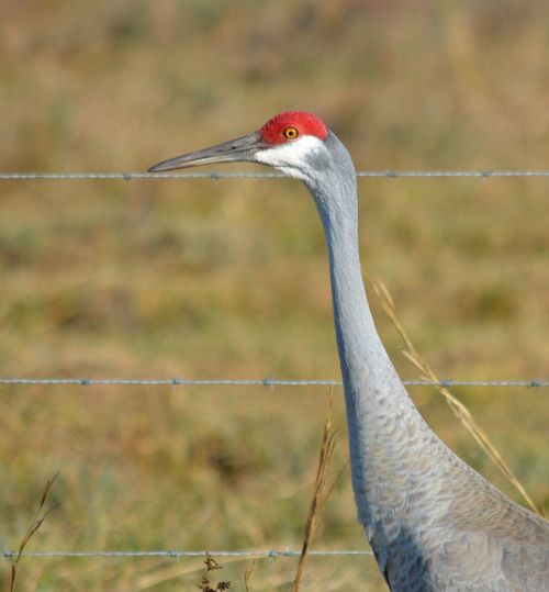 Sandhill Crane St Sebastian River Preserve State Park One Animal Bird Animal Themes Animals In The Wild Animal Wildlife Focus On Foreground Close-up Nature Day Outdoors No People Beak Beauty In Nature Bird Photography