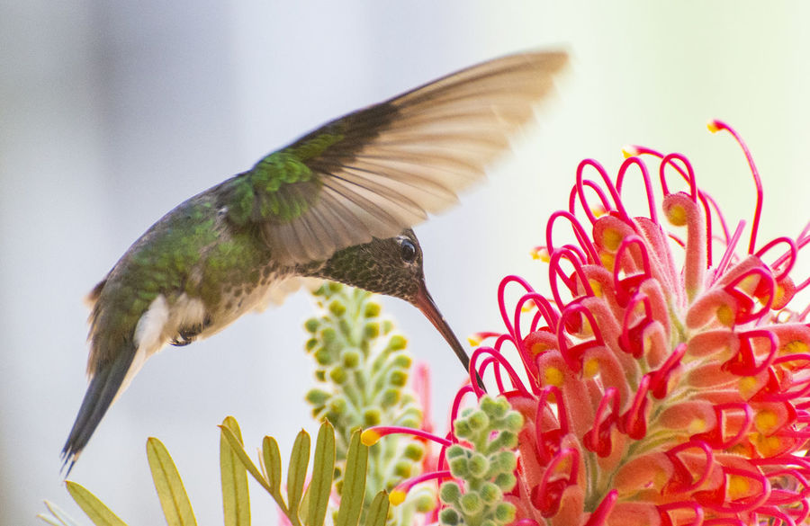 My friend the hummingbird. EyeEm Selects EyeEmNewHere Animal Animal Themes Animal Wildlife Animals In The Wild Beauty In Nature Bird Close-up Flower Flower Head Flowering Plant Flying Focus On Foreground Fragility Freshness Growth Nature No People One Animal Outdoors Plant Pollination Vertebrate Vulnerability