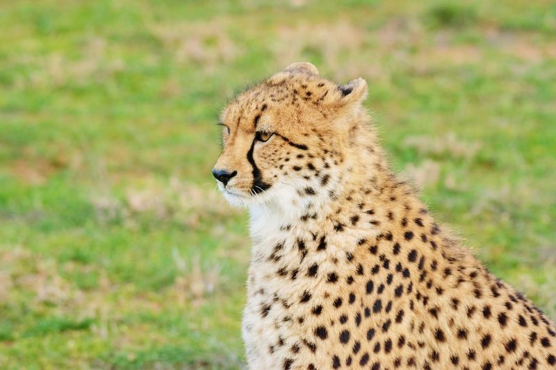 Cheetah. Sun Africa African Australia Blur EyeEm Selects Animal Animal Themes Feline Animals In The Wild Animal Wildlife Mammal Big Cat Cat One Animal Cheetah Vertebrate Safari No People Spotted Carnivora Nature Day Looking Away Undomesticated Cat
