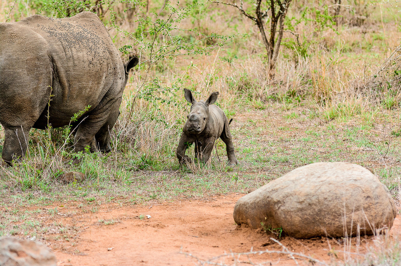 Rhinoceros And Calf On Field