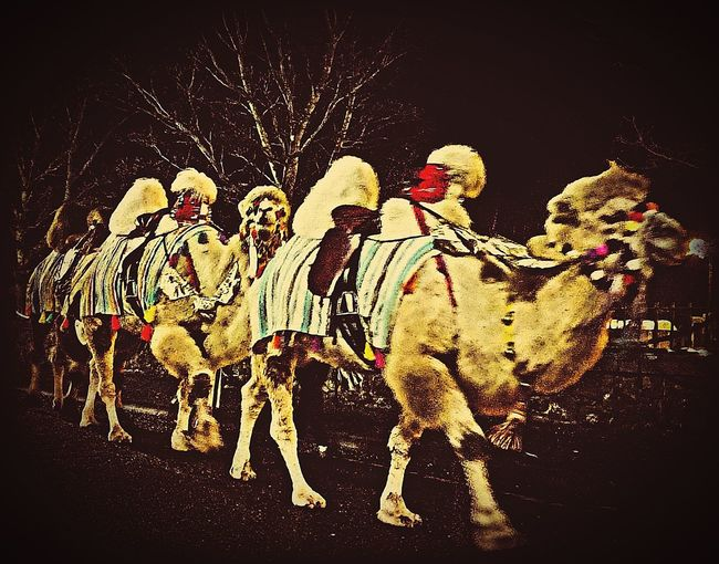Camel's Animal Themes Christmastime Edit Something Different Taking Photos Taking Pictures Mobilephotography Mobile Photography Dumfries And Galloway Stranraer Camel's Black Background Togetherness