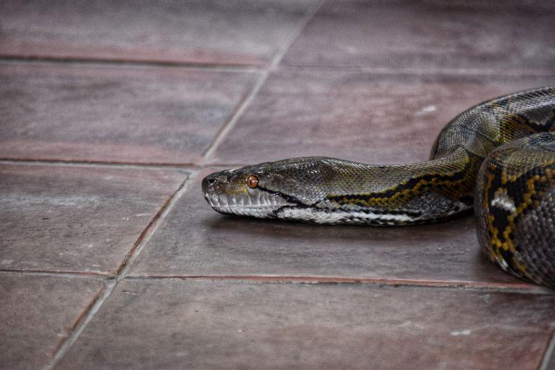 Reptile Animal Themes One Animal Animal Animal Wildlife Animals In The Wild Vertebrate Snake Tile No People Close-up