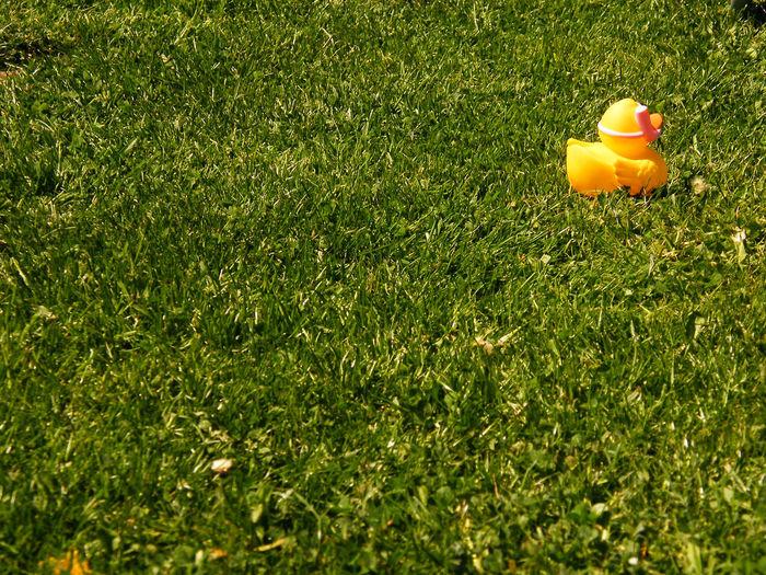 Rubber Duck On Grassy Field