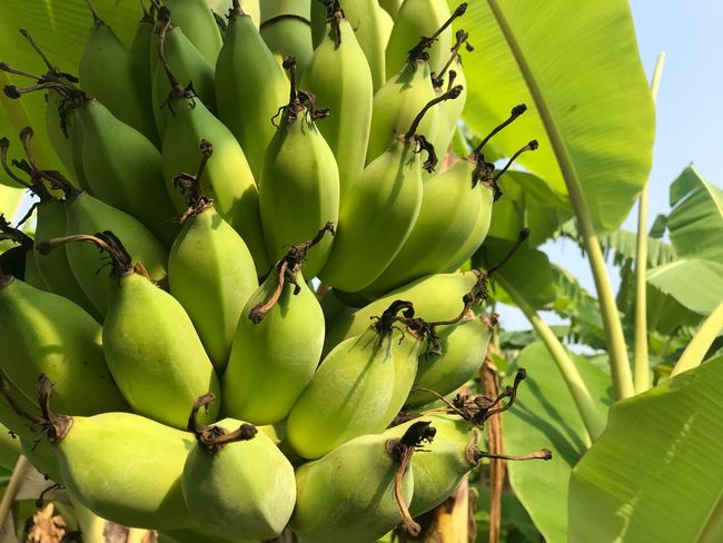 The bananas green Growth Plant Green Color Leaf Plant Part Nature No People