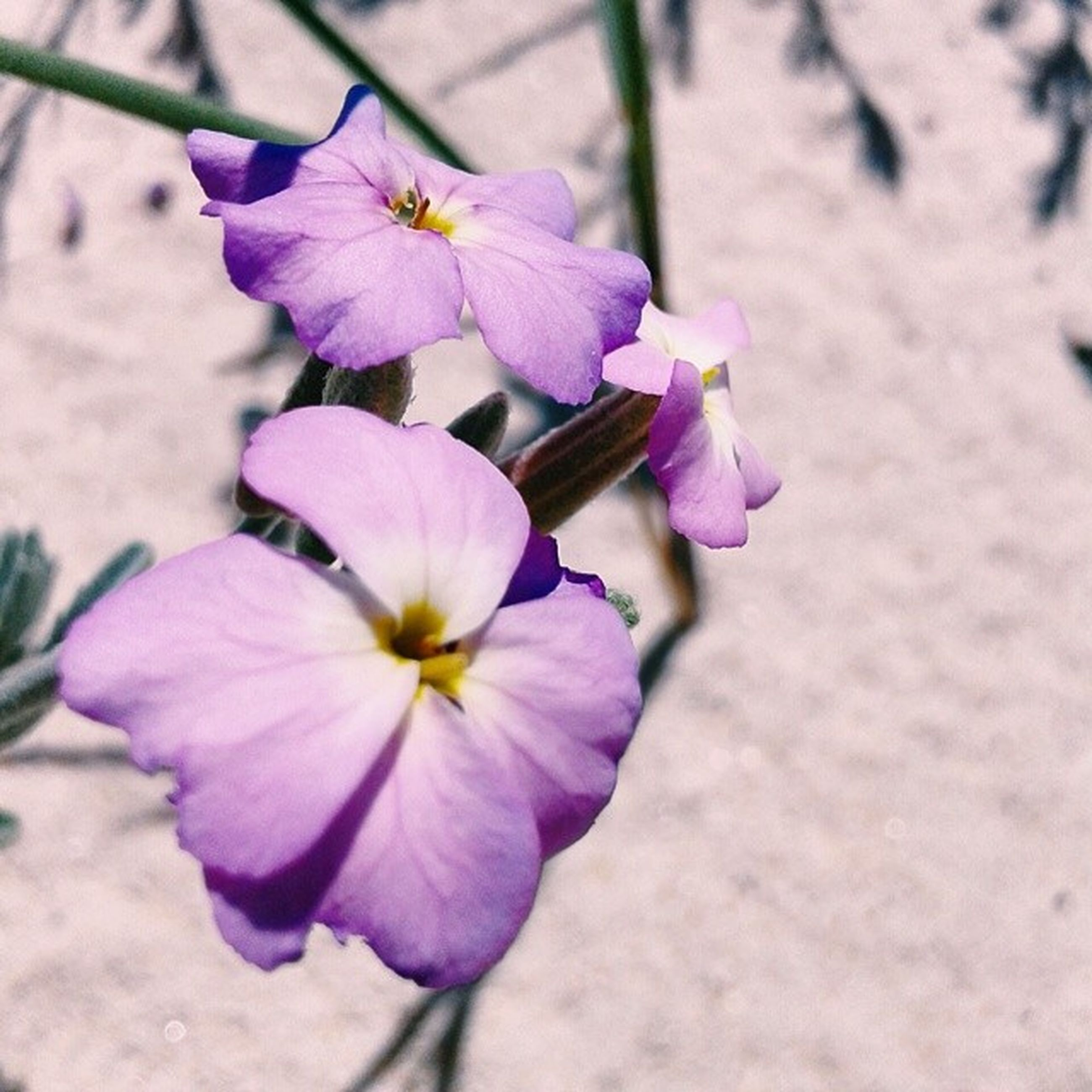 flower, petal, fragility, freshness, purple, flower head, beauty in nature, growth, close-up, focus on foreground, nature, blooming, plant, in bloom, pink color, blossom, outdoors, day, botany, no people