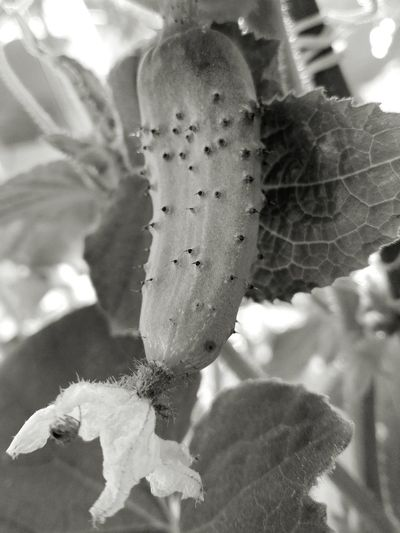 Black & White Cucumber Spines Cucumber Leaves Cucumber Plant Cucumber Blossom Cucumber No People Close-up Wolfzuachis Edited By @wolfzuachis On Market Wolfzuachiv Huaweiphotography Showcase: 2017 Veronica Ionita @WOLFZUACHiV Eyeem Market Ionita Veronica Showcase: June Slowfood Cucumber With Blossom Spider On A Cucumber Blossom Cucumber Flower Cucumber Leaf Vegetable