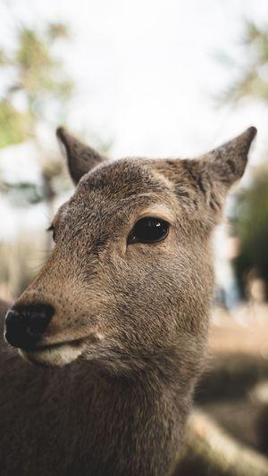 Innocence Deer