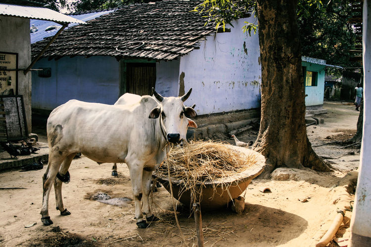Jharkhand, India Village India Jharkhand Nature Landscape People Colors Silent Moment Silent Pure Life Pure Beauty Livestock Domestic Animals Animal Domestic Pets Animal Themes Vertebrate Architecture Tree Building Exterior Plant Building