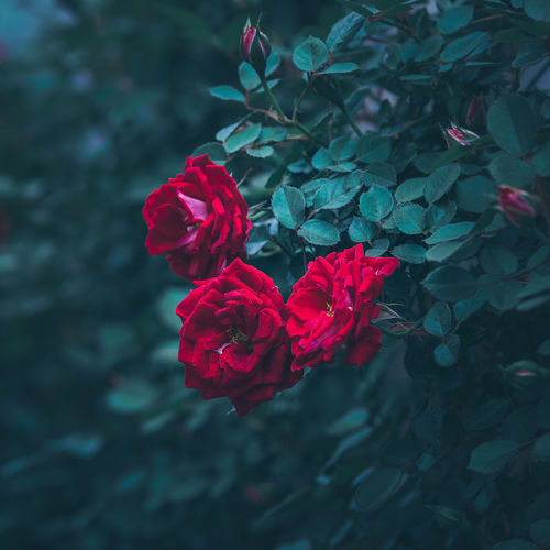 Beauty In Nature Flower Flower Head Flowering Plant Fragility Freshness Growth Leaf Nature Outdoors Petal Plant Plant Part Red Rose - Flower Rosé Spring