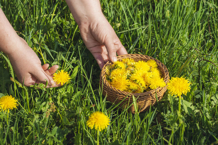 Close-up of hand holding yellow flowering plants on field