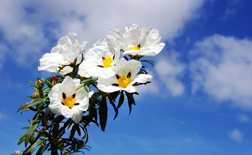 white cistus ladanifer flowers in sky Ladanifer Beauty In Nature Blooming Close-up Cloud - Sky Flower Flower Head Fragility Freshness Growth Nature Petal Sky White Color