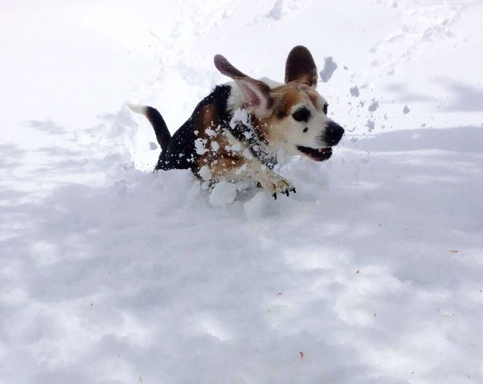Animal Themes Domestic Animals Beagles  Beaglelove Doginsnow Snow ❄ Running