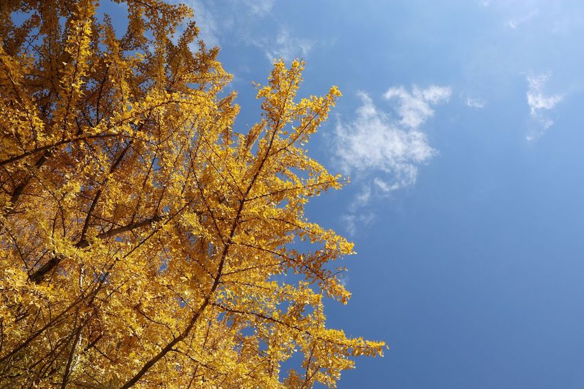Ginkgo and sky/銀杏 Low Angle View Sky Tree Nature No People Cloud - Sky Change Beauty In Nature Growth Outdoors Yellow Autumn Day Branch Ginkgo Canon EOS M5 Autumn Leaves