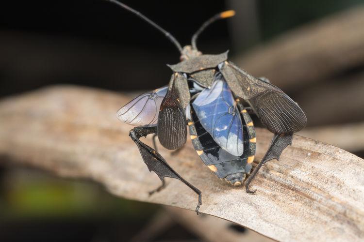 Squash leaf-footed bug.