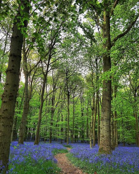 Bluebell Path Tree Nature Growth Beauty In Nature Tranquility Tree Trunk Tranquil Scene Forest Scenics Outdoors Purple No People Flower Day Landscape Branch Freshness Sky Bluebells