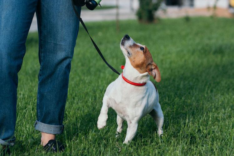 Jack russel terrier outdoors