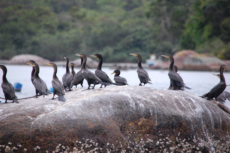 Animals In The Wild Group Of Animals Vertebrate Animal Wildlife Animal Themes Bird Animal Large Group Of Animals Focus On Foreground Day Water No People Nature Cormorant  Perching Outdoors Canada Goose Rock Flock Of Birds