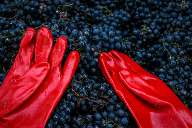 Wine grapes and red gloves