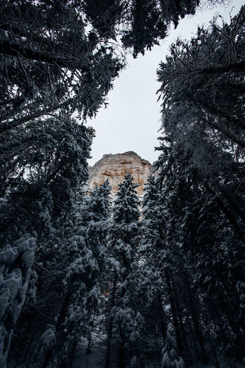 Low angle view of pine trees during winter