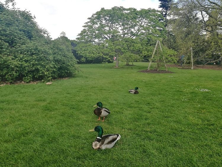 Kew Gardens London England Uk Tranquility Tranquil Scene Nature Love Nature Nature_collection Bird Birds Ducks Outdoors Growth Day Springtime P9 Huawei Smartphone Photography Spring Days Spring Animal Themes Birds In Nature Ducks On The Grass Nature Photography Spring Freshness