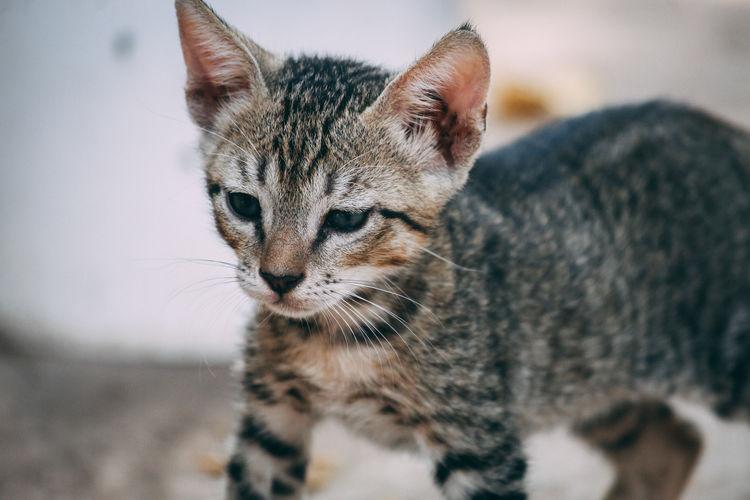 Undomesticated Cat Animal Eye Stray Animal Cat Family Cat Animal Hair Animal Face Yellow Eyes Carnivora Big Cat
