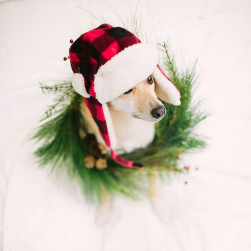 Getting into the holiday spirit! Christmas Dog Pets Celebration Pet Clothing Christmas Decoration Holiday - Event Happy Holidays! Merry Christmas DIY At Home DIY Wreath Christmas Day Christmas Wreath December Wreath Making Winter Christmas Time Portrait Festive Season Festive Mood Stay Warm Warm Clothing Holidays Shiba Inu Dogs Of EyeEm