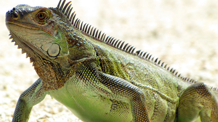 Green iguana in the Florida Keys. Animal Themes Animal Wildlife Animals In The Wild Close-up Day Iguana Invasive Species Lizard Nature No People One Animal Outdoors Reptile Reptile