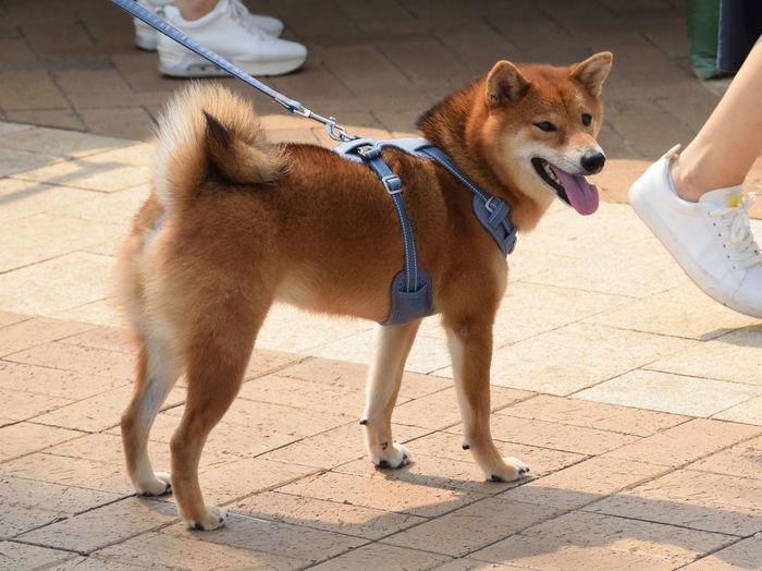 Shiba Inu Pets