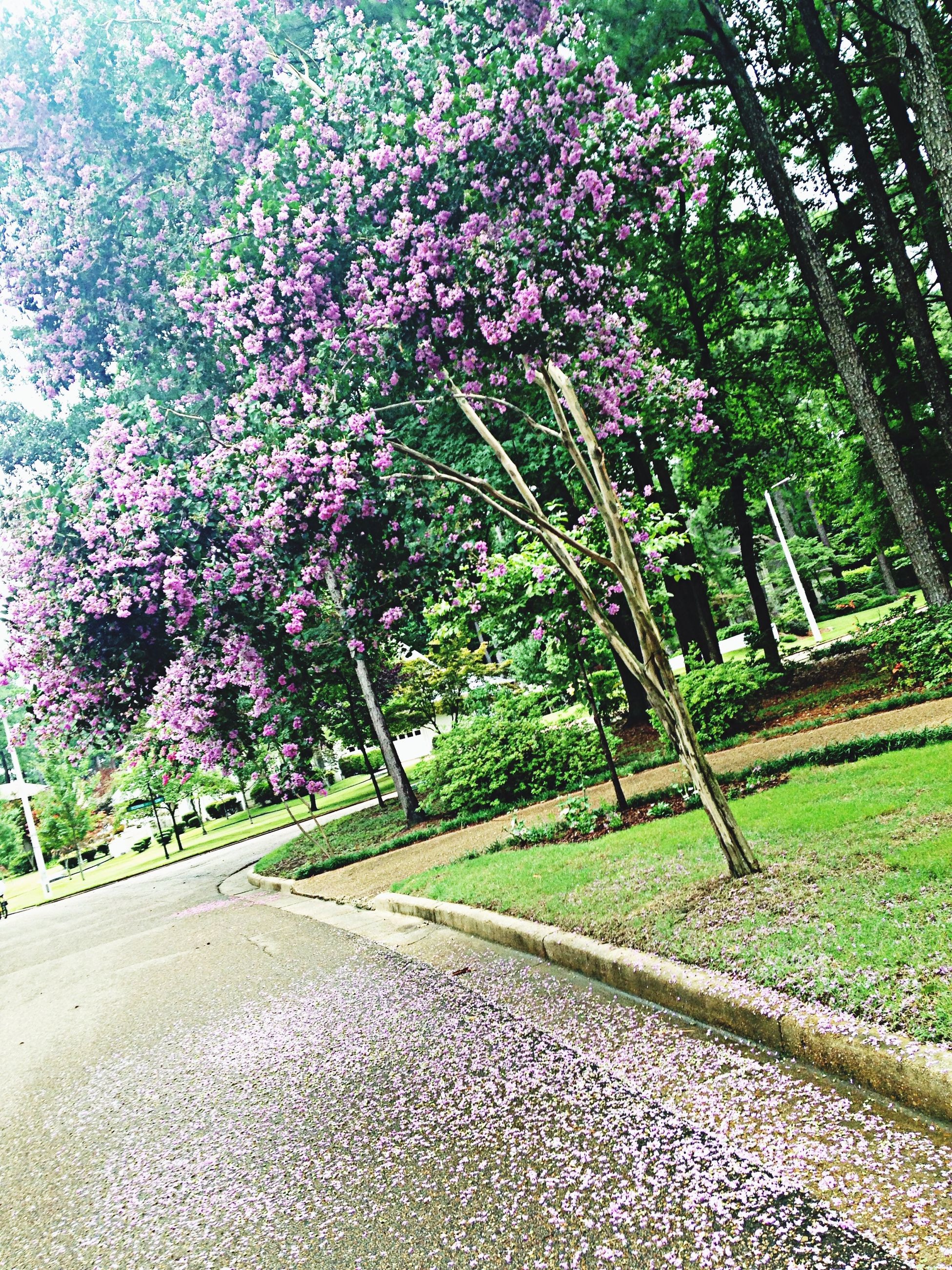 tree, growth, the way forward, flower, transportation, road, plant, nature, diminishing perspective, beauty in nature, day, outdoors, street, sunlight, green color, freshness, footpath, no people, branch, road marking