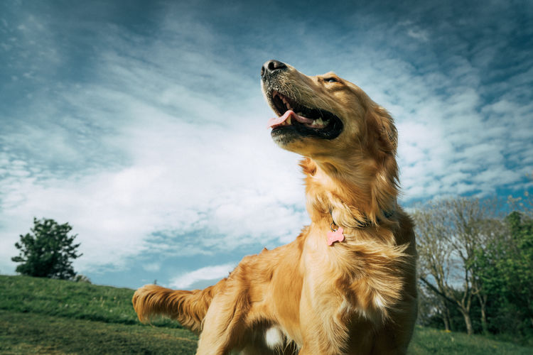 Golden Retriever Animal Animal Body Part Animal Head  Animal Teeth Animal Themes Animal Wildlife Canine Cloud - Sky Day Dog Domestic Domestic Animals Gundog Mammal Mouth Mouth Open Nature No People One Animal Pets Retriever Roaring Sky Snarling